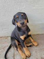 Doberman Pinscher Puppies for sale in Rio Linda, CA, USA. price: NA