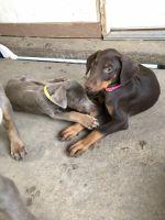 Doberman Pinscher Puppies for sale in Grand Prairie, TX, USA. price: NA