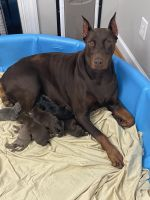 Doberman Pinscher Puppies for sale in Selma, NC, USA. price: NA