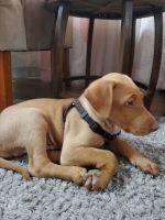 Doberman Pinscher Puppies for sale in Santa Clara, CA 95051, USA. price: NA