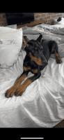 Doberman Pinscher Puppies for sale in LaGrange, GA, USA. price: NA