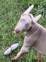 Doberman Pinscher Puppies for sale in Dallas North Tollway, Dallas, TX, USA. price: NA