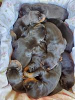Doberman Pinscher Puppies for sale in Green Bay, WI, USA. price: NA