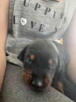 Doberman Pinscher Puppies for sale in DeRidder, LA 70634, USA. price: NA