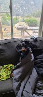 Doberman Pinscher Puppies for sale in Azusa, CA, USA. price: NA