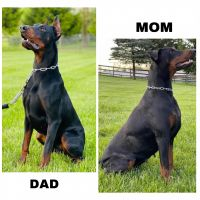Doberman Pinscher Puppies for sale in Indianapolis, IN, USA. price: NA