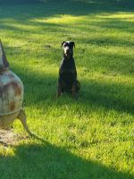 Doberman Pinscher Puppies for sale in Falmouth, MI 49632, USA. price: NA