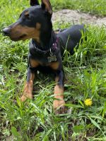 Doberman Pinscher Puppies for sale in Lakewood, CO, USA. price: NA