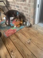 Doberman Pinscher Puppies for sale in Charlotte, NC, USA. price: NA