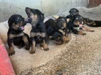 Doberman Pinscher Puppies for sale in Wapato, WA 98951, USA. price: NA