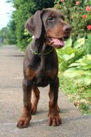 Doberman Pinscher Puppies for sale in Cheshire, CT, USA. price: NA