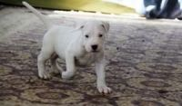 Dogo Guatemalteco Puppies for sale in Minneapolis, MN, USA. price: NA