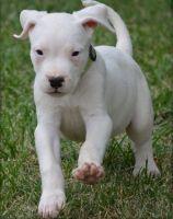 Dogo Guatemalteco Puppies for sale in Los Angeles, CA, USA. price: NA