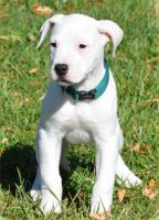 Dogo Guatemalteco Puppies for sale in Georgetown, KY 40324, USA. price: NA