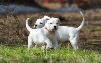 Dogo Guatemalteco Puppies for sale in Corpus Christi, TX, USA. price: NA