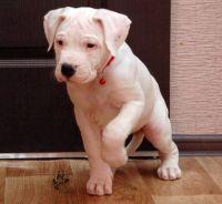 Dogo Guatemalteco Puppies Photos