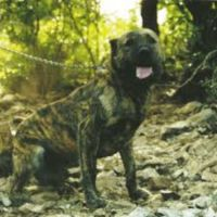dogo sardesco dog