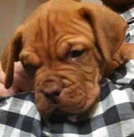 Dogue De Bordeaux Puppies for sale in Spokane, WA, USA. price: NA