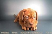 Dogue De Bordeaux Puppies for sale in San Diego, CA, USA. price: NA
