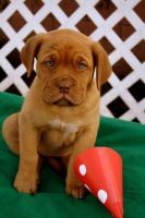 Dogue De Bordeaux Puppies for sale in Chicago, IL, USA. price: NA