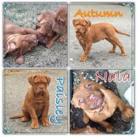 Dogue De Bordeaux Puppies for sale in Kensington, MD 20895, USA. price: NA