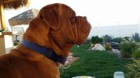 Dogue De Bordeaux Puppies for sale in Victorville, CA, USA. price: NA