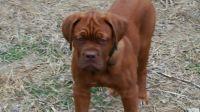 Dogue De Bordeaux Puppies for sale in Everett, WA, USA. price: NA