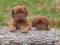 Dogue De Bordeaux Puppies for sale in Santa Clarita, CA, USA. price: NA