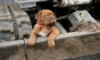 Dogue De Bordeaux Puppies for sale in McAllen, TX, USA. price: NA
