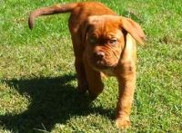 Dogue De Bordeaux Puppies for sale in Denver, CO, USA. price: NA