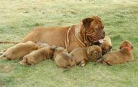 Dogue De Bordeaux Puppies for sale in Rialto, CA, USA. price: NA