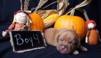 Dogue De Bordeaux Puppies for sale in Findlay, OH 45840, USA. price: NA
