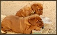 Dogue De Bordeaux Puppies for sale in San Bernardino, CA, USA. price: NA
