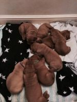 Dogue De Bordeaux Puppies for sale in Tampa, FL, USA. price: NA