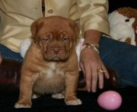 Dogue De Bordeaux Puppies for sale in Brownton, MN 55312, USA. price: NA