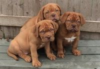 Dogue De Bordeaux Puppies for sale in Carlsbad, CA, USA. price: NA