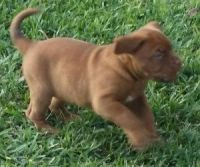 Dogue De Bordeaux Puppies for sale in Bakersfield, CA, USA. price: NA