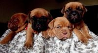 Dogue De Bordeaux Puppies for sale in Concord, CA, USA. price: NA