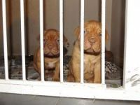 Dogue De Bordeaux Puppies for sale in Lancaster, CA, USA. price: NA