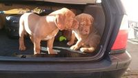 Dogue De Bordeaux Puppies for sale in Gilbert, AZ, USA. price: NA