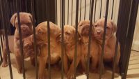 Dogue De Bordeaux Puppies for sale in Jersey City, NJ, USA. price: NA