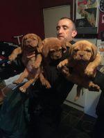 Dogue De Bordeaux Puppies for sale in Savannah, GA, USA. price: NA