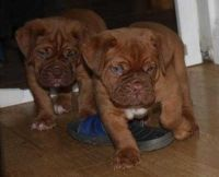 Dogue De Bordeaux Puppies for sale in Buffalo, NY, USA. price: NA