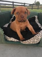 Dogue De Bordeaux Puppies for sale in Berkeley, CA, USA. price: NA