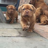 Dogue De Bordeaux Puppies for sale in Angier, NC 27501, USA. price: NA
