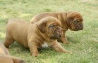 Dogue De Bordeaux Puppies for sale in Newark, NJ, USA. price: NA