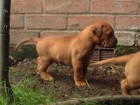 Dogue De Bordeaux Puppies for sale in East Los Angeles, CA, USA. price: NA
