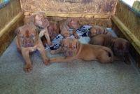 Dogue De Bordeaux Puppies for sale in Montgomery, AL, USA. price: NA