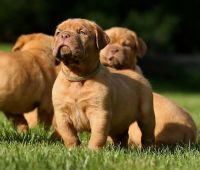 Dogue De Bordeaux Puppies for sale in Tulsa, OK, USA. price: NA