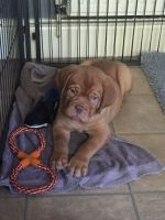 Dogue De Bordeaux Puppies for sale in Philadelphia, PA, USA. price: NA